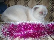 Шотландский вислоухий кот для вязок