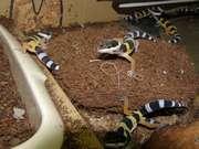 Продам ручных, ярких и неприхотливых леопардовых гекконов.