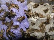 Продам живых кормовых насекомых-сверчки, тараканы, черви
