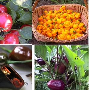 Семена редких томатов и горького перца,  лук многолетний