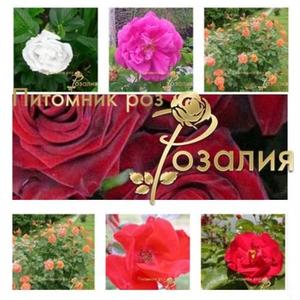 Саженцы роз из питомника Розалия,  осень 2017