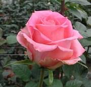 Оптовые поставки свежих цветов – розы,  гвоздики,  герберы  из Эквадора
