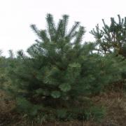 Купить новогодние сосны и елки оптом